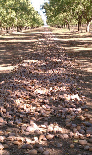 Almond Harvest Mike Newman CA
