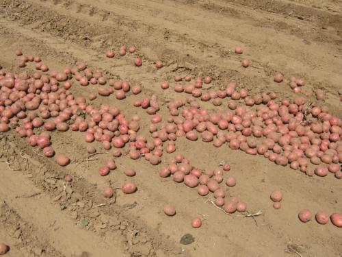 Control field potatoes