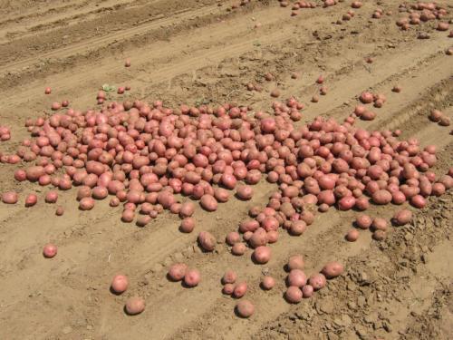 Ferticell potatoes
