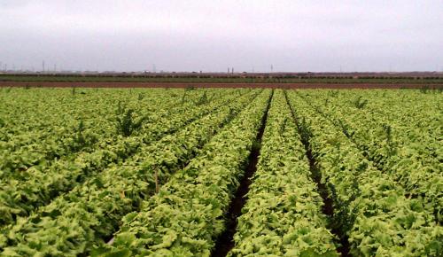 mikes-lettuce-aoa-ca880-epn