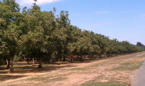 Organic walnuts treated with Calcium 880