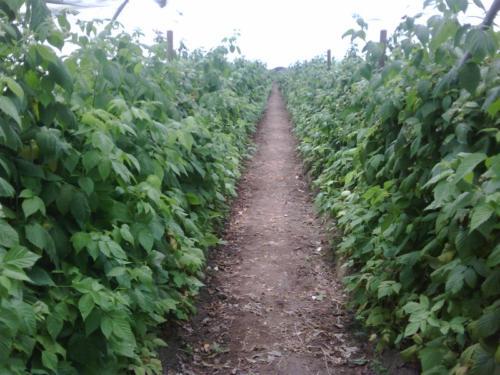 Raspberries untreated