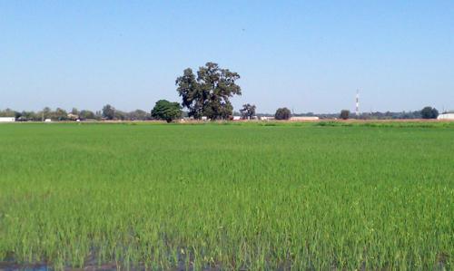 rice-colusa-ca-1-day-prior-3010-1060