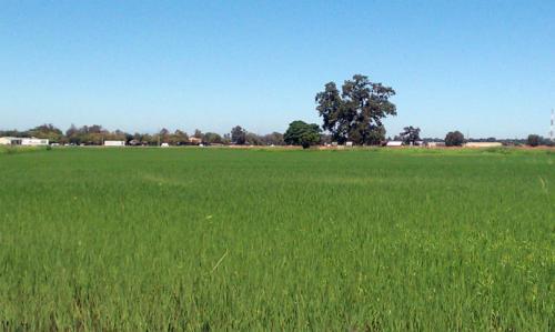 rice-colusa-ca-6-days-after-3010-1060