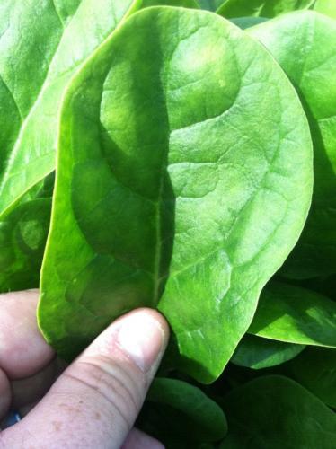 Untreated lettuce leaf color notrigen